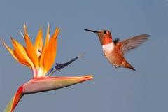 Colibrí y pájaro del paraíso rufos Fotografía de archivo libre de regalías