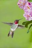 Colibrí y rododendros Foto de archivo libre de regalías