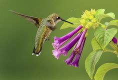 colibrí y Violet Flowers Ruby-throated
