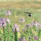 Colibríes en el SE de Rocky Mountain Bee Plant Cleome de las flores salvajes foto de archivo libre de regalías