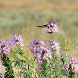Colibríes en el SE de Rocky Mountain Bee Plant Cleome de las flores salvajes fotos de archivo