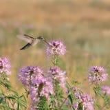 Colibríes en el SE de Rocky Mountain Bee Plant Cleome de las flores salvajes fotos de archivo libres de regalías