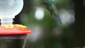 Colibríes, pájaros, animales, vida salvaje, naturaleza almacen de video