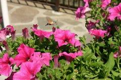 Colibríes que chupan los bellflowers rosados Imagenes de archivo