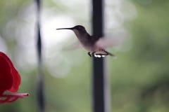 Colibrì durante il volo Fotografia Stock