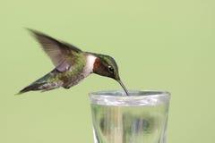 colibrí Rubí-throated Foto de archivo libre de regalías