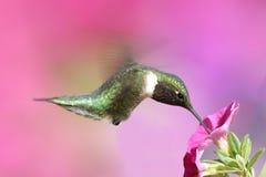 colibrí Rubí-throated en una perca Imagen de archivo