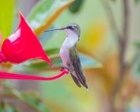 Colibri à un conducteur en Caroline du Nord images stock