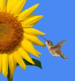 Colibri à un tournesol Photos stock