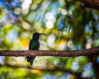 Colibri été perché sur le branchement d'arbre photo libre de droits