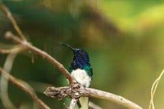 Colibri étranglé blanc de Jacobin connu sous le nom de mellivora de Florisuga Images libres de droits