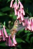 Colibri Photo stock