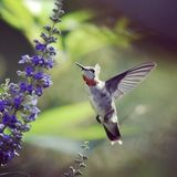 colibri photo libre de droits