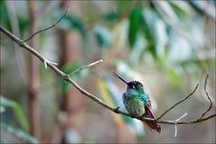 Colibri. Photographie stock