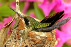 Colibri Fotografia de Stock