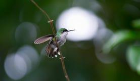 Colibri Photographie stock libre de droits