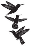 Colibri Imagens de Stock