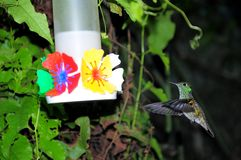 Colibri. Stock Afbeeldingen