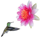 Colibri. Stock Photo