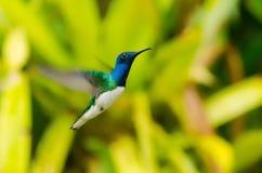 colibri Image stock