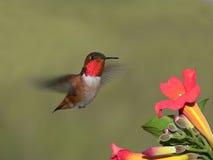 Colibri Photos libres de droits