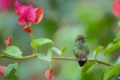 Colibri Immagini Stock