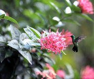 Colibri Fotos de Stock Royalty Free