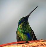 Colibri Fotografia de Stock Royalty Free