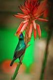 Colibri Royaltyfri Fotografi