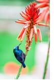 Colibri στοκ εικόνα με δικαίωμα ελεύθερης χρήσης