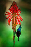 Colibri Stock Afbeeldingen