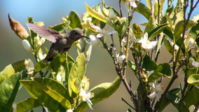 colibri Images libres de droits