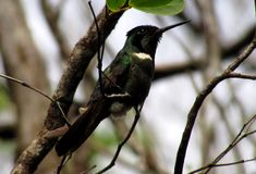 Colibri Imagen de archivo