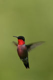 Colibri Fotos de Stock