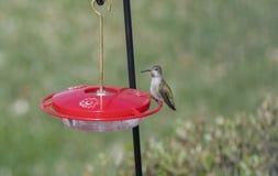 Colibri adulte femelle sauvage du ` s d'Anna à un conducteur pendant le Migratio Photo stock