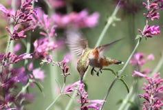 Colibri alimentant Photos stock