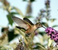 Colibri alimentant Photos libres de droits