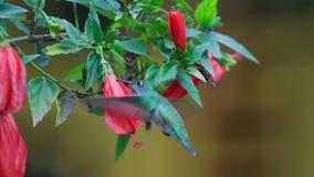 Colibri alimentant aux fleurs rouges, cuzco Pérou banque de vidéos