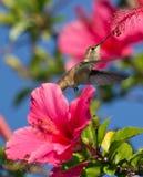 Colibri alimentant dans la fin de l'après-midi Photographie stock