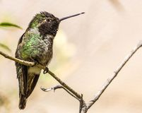 Colibri alimentant dans le désert Photos libres de droits