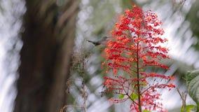 Colibri alimentant de la fleur dans une forêt tropicale banque de vidéos