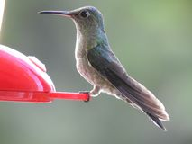 Colibri alimentant Jaco Costa Rica Photos stock