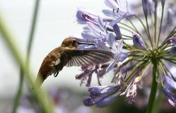 Colibri alimentant sur le nectar Image stock