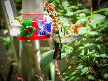 Colibri alimentant sur Sugar Water Feeder photographie stock libre de droits