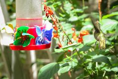 Colibri alimentant sur Sugar Water Feeder images libres de droits