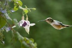 Colibri & Fushias Imagens de Stock
