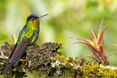 colibri Ardent-throated Images libres de droits