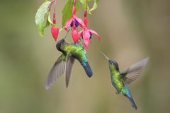 colibri Ardent-throated - insignis de Panterpe Photo libre de droits