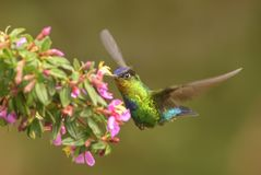 colibri Ardent-throated - insignis de Panterpe Photographie stock