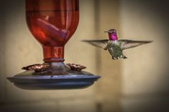 Colibri atado largo masculino fotografado em um alimentador Imagem de Stock Royalty Free